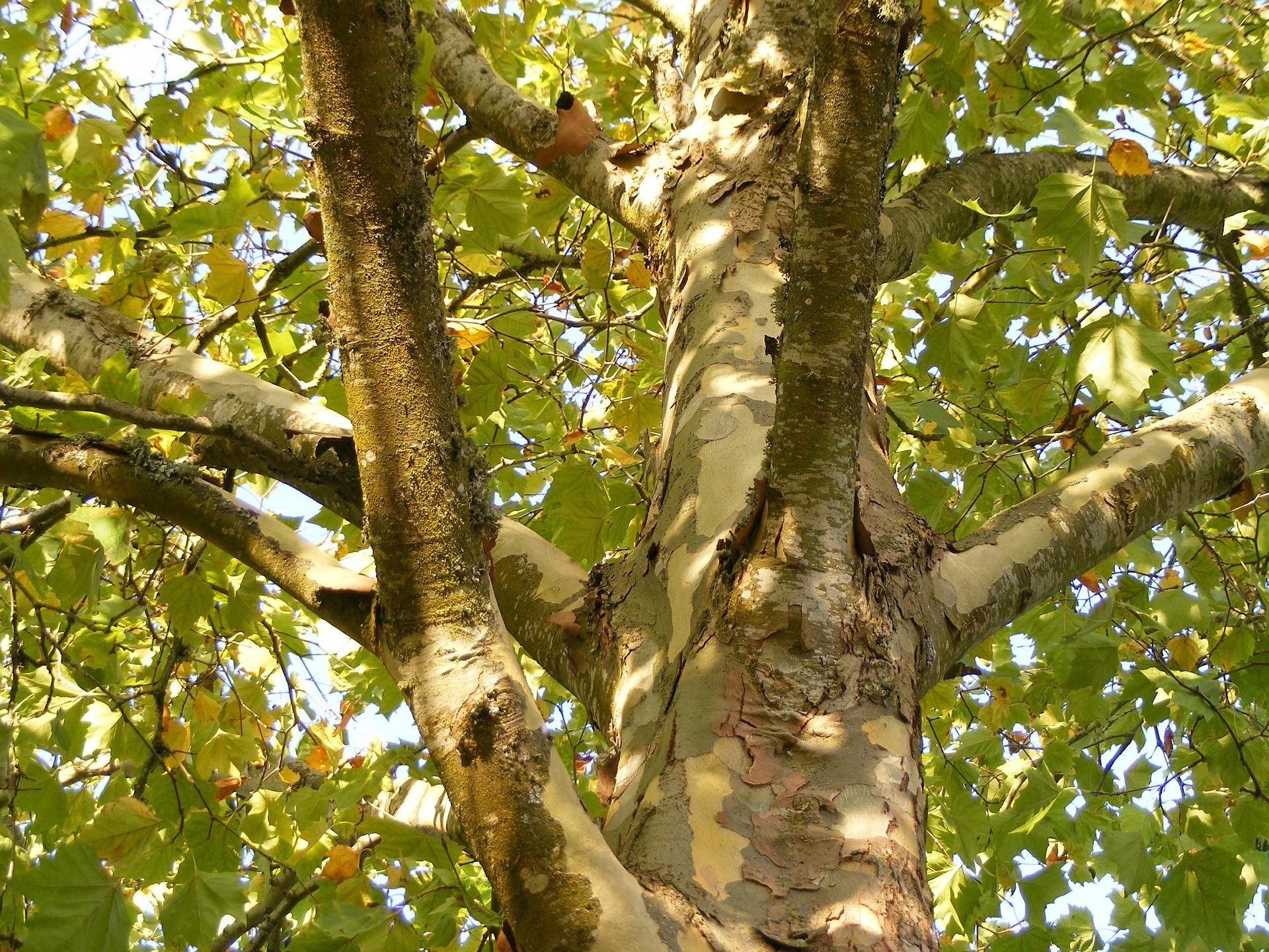 συκομουριά δέντρο